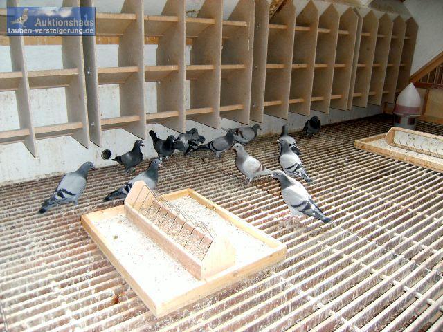 Tauben-Versteigerung