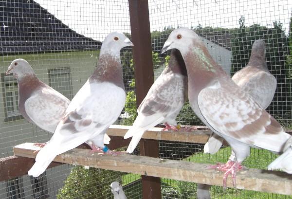 Tauben Versteigerung